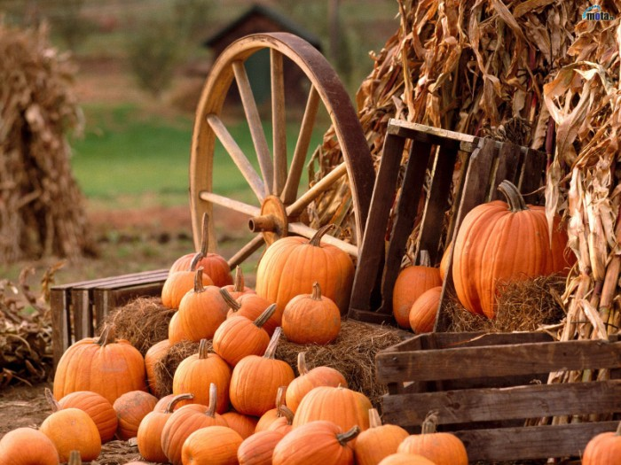 crates made of wood, and a cartwheel, surrounded by dried maize leaves, and multiple orange pumpkins, in different sizes, thanksgiving greeting message, countryside imagery