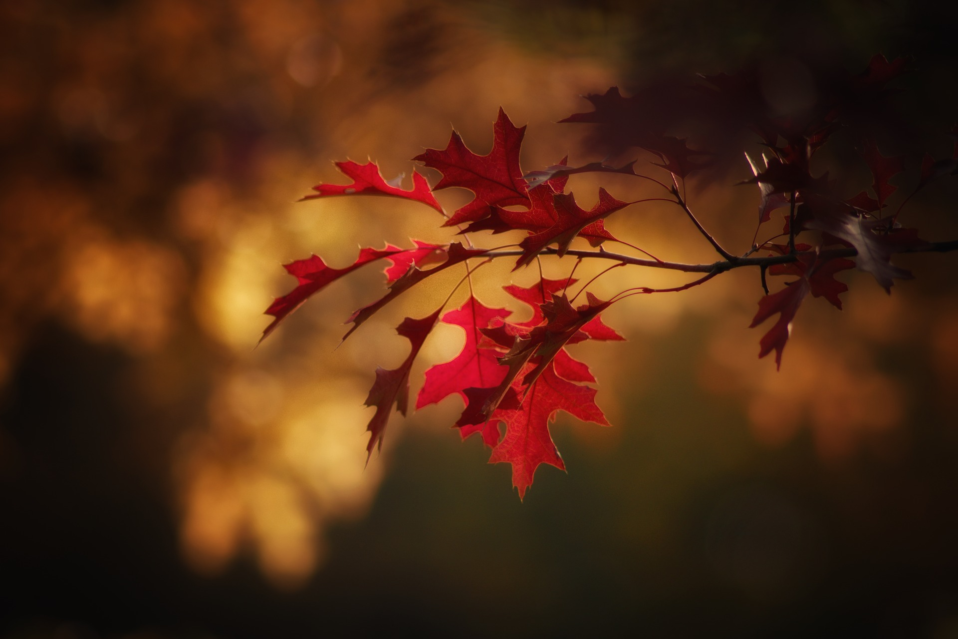 red fall leaves, on a small thin branch, seen in close up, thanksgiving greetings, blurry brown background