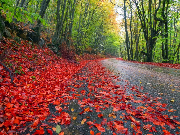 road passing trough a forest, with multiple red fall leaves on the ground, thanksgiving greetings, trees with yellow and light green folliage, on either side
