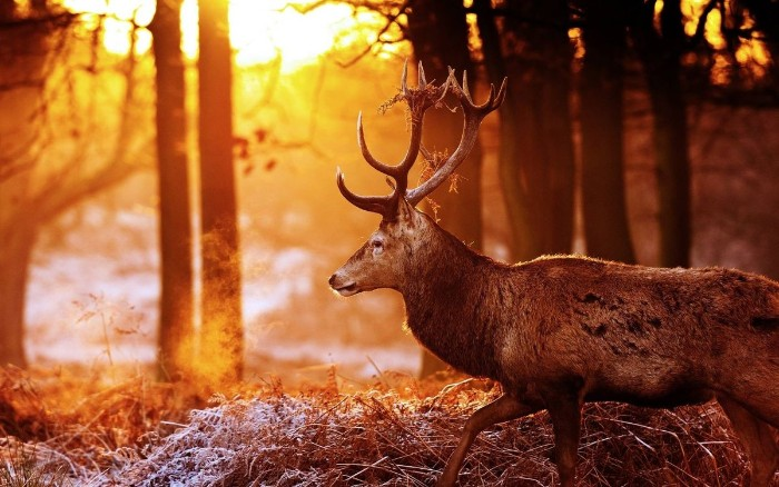elk walking through a fall forest, with afternoon sunlight visible through the trees, thanksgiving message to employees, dried shrubs on the ground