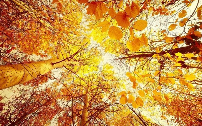 several birch trees, covered in yellow and orange fall leaves, seen from below, pale sky in the background