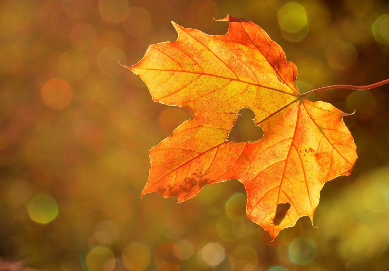 heart-shaped hole, on an orange fall leaf, seen in close up, thanksgiving greetings, blurry background in brown and orange