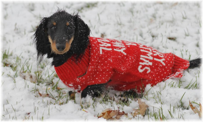 adult dachshund in a red jumper, with a festive message, written on the jumper's back in white, cute christmas sweaters, snow on the ground and on the dog's head