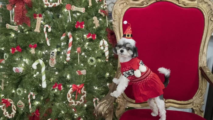 shih tsu dressed in a red jumper, featuring white and black fair isle patterns, standing on a red and gold baroque chair, near a lavishly decorated christmas tree, cute christmas sweaters