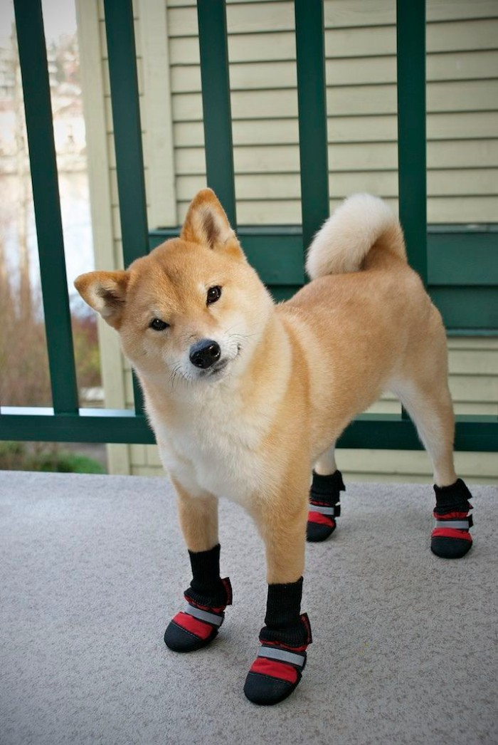 booties in black, red and grey, worn by a shiba inu, with light beige and cream fur, and head tilted to one side, cute dogs