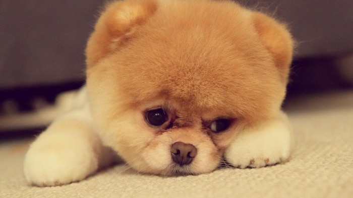 boo the pomeranian, with trimmed pale beige, and light cream fur, dubbed the cutest dog in the world, lying on a light cream carpet, cute dogs of the internet