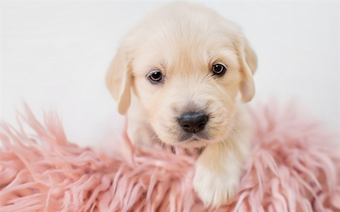 very young golden retriever puppy, with a pale cream coat, cute puppy, lying on a fluffy, mock-sheepskin blanket, in pale pink