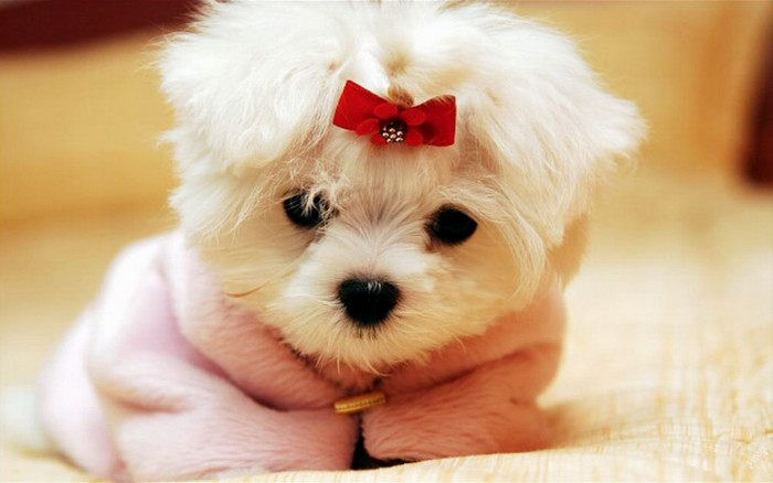 small blanket in light pink, wrapped around a bichon frise puppy, cutest dogs, with long white fur, and a red hairclip