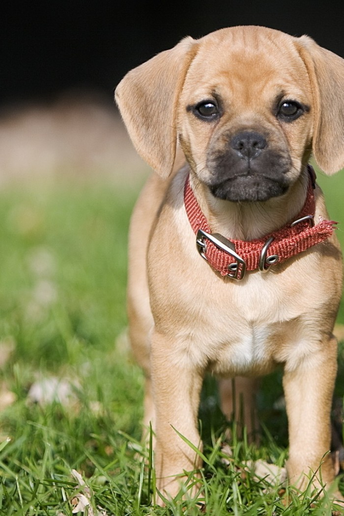 pup with big floppy ears, a black muzzle, and a wrinkled face, wearing a brick red collar, and standing on a green lawn