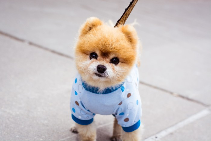 cutest dog breeds, boo the pomeranian, dressed in a light blue sweater, with teal and brown polka dots, with light beige and cream fur