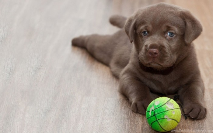 cutest dogs, chocolate brown labrador puppy, lying on a laminate floor, near a chewed, green and yellow ball