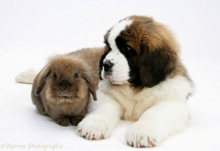 floppy eared rabbit, with grayish-brown fur, sitting next to a st. bernard puppy, with a white, beige and dark brown coat