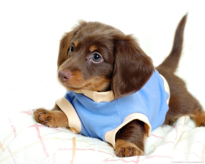 blue and cream sweater, worn by a daschund puppy, cute dog, with a short, chocolate brown and ginger coat