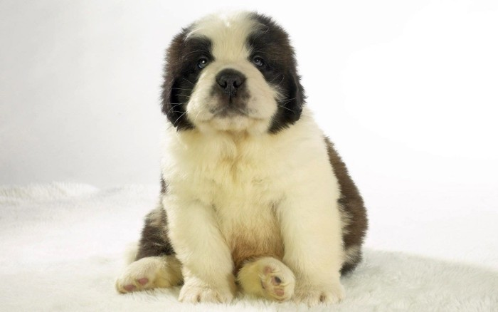 young st. bernard puppy, with a fluffy white, and dark brown coat, cutest dog in the world, sitting on a soft white surface
