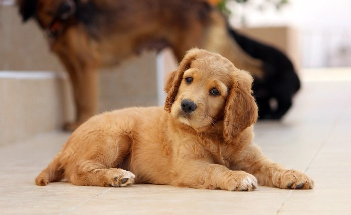 cocker spaniel puppy, with light beige fur, cutest dog breeds, lying on a tiled floor, with its head slightly tilted to one side