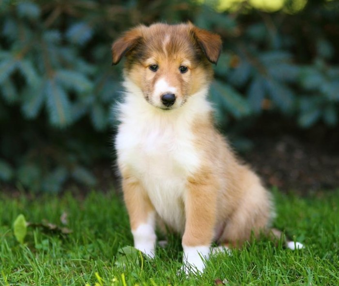 rough collie puppy, with a beige and white coat, sitting on green grass, with pine trees in the background