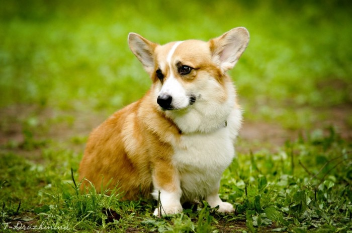 fully gorwn corgi, with a pale ginger and white coat, and big upright ears, cute dogs, sitting on a grassy spot
