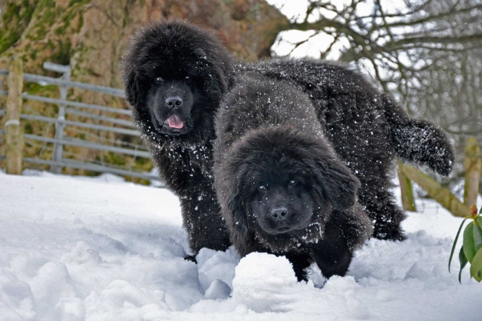 snow covering the fluffy black fur, of two young newfoundland dogs, playing in the snow, cutest dogs