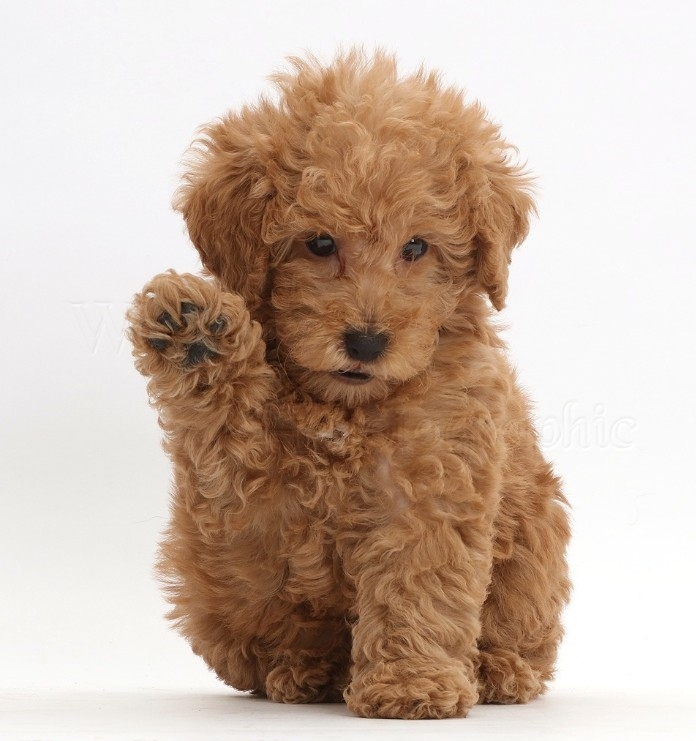 golden doodle with a curly, light beige coat, raising one of its front paws, cutest dogs, sitting on white surface