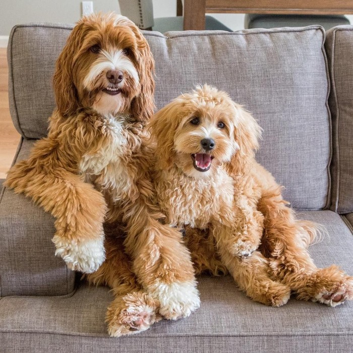 older and younger labradoodles, with curly cream, and pale beige coats, cutest dog in the world, sitting next to each other, on a light grey couch