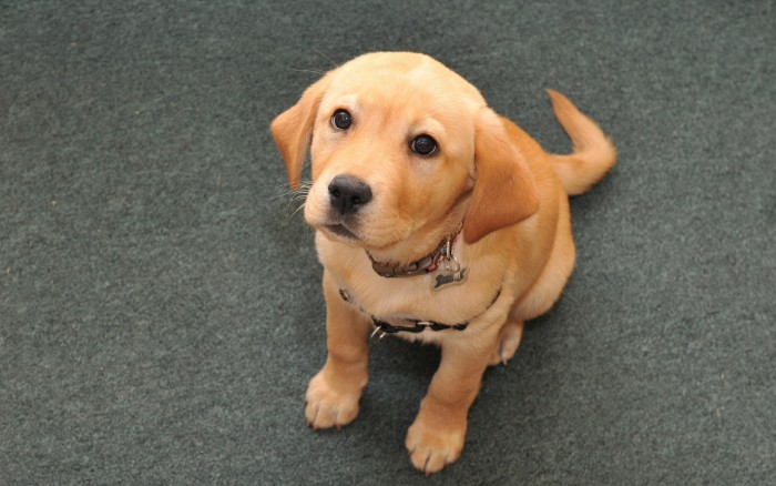 yellow retriever puppy, with a light coat and darker ears, sitting on a grey carpet, and looking up