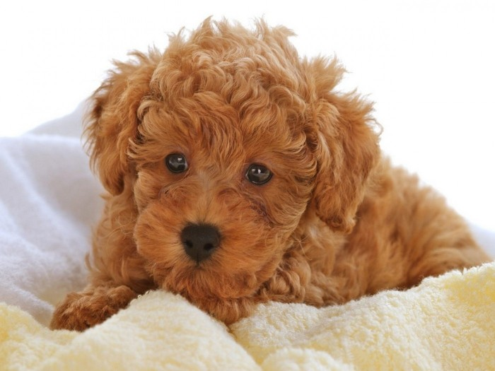 ginger brown curly coat, on a golden doodle puppy, lying on a soft cream blanket, cute dog