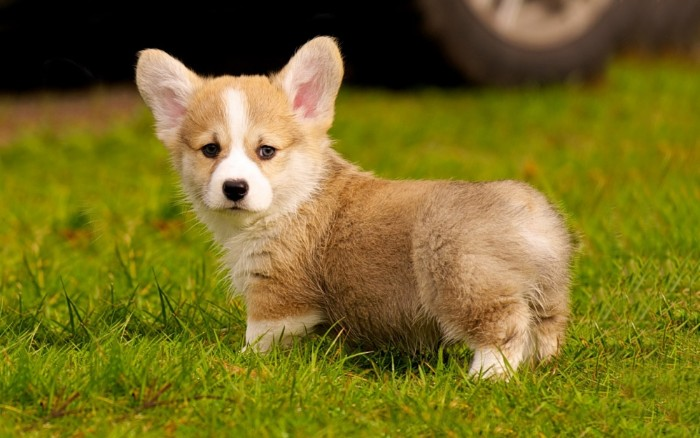 corgi puppy with a fluffy, beige and white coat, and upright ears, cute dogs, standing on a geen lawn,