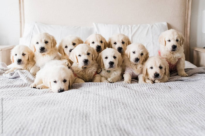 cutest dog in the world, eleven golden retriever puppies, with pale cream coats, sitting and lying on a bed
