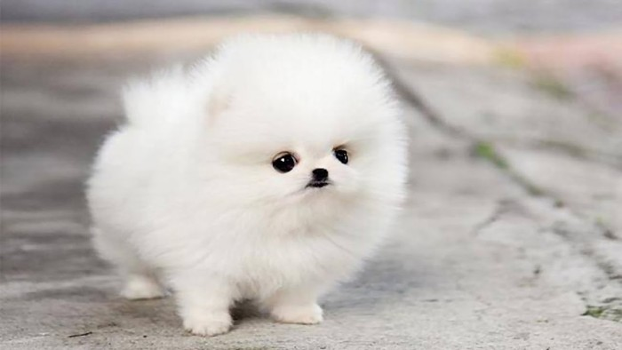 tiny pomeranian puppy, with an extremely fluffy white coat, big dark eyes, and a very small black nose, cutest dog breeds, standing on a concrete road