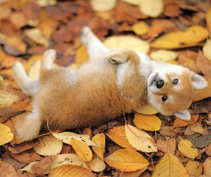 playing shiba inu pup, with a ginger and white coat, rolling on top of fall leaves in yellow, orange and brown