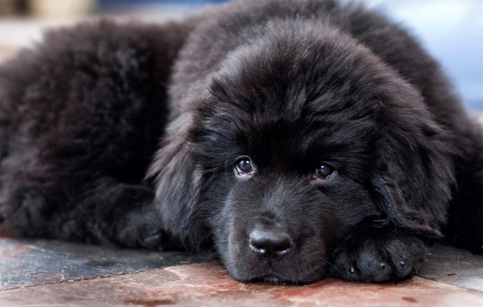 newfoundland puppy with a furry, soft and fluffy black coat, lying on a stone tiled floor, with its head on its paw, cute puppy