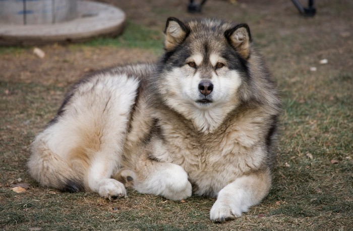 grown alaskan malamute, with fluffy cream and grey fur, cute dog breeds, lying on the ground, and looking at the camera