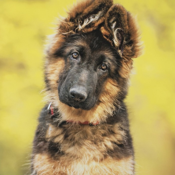 fluffy german shepherd puppy, with a black and cream coat, cute dog, with head slightly tilted to one side, and ears turned up