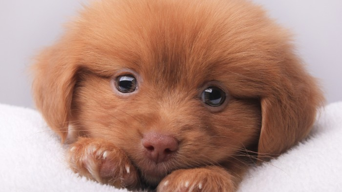 close up of a ginger puppy, with soft fur, small floppy ears, a pink nose, and big eyes, lying on a white blanket