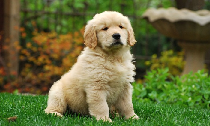 baby golden retriever, with a cream coat, and pale beige ears, cute puppy, sitting on a green lawn