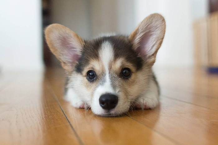 alert upright ears, on a corgi puppy, with a grey, cream and white coat, cute dogs, lying on a laminate floor