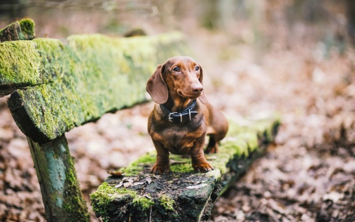 wooden bench covered in green moss, with an adult daschund standing on top, cute puppy, with short chockolate brown, and ginger fur