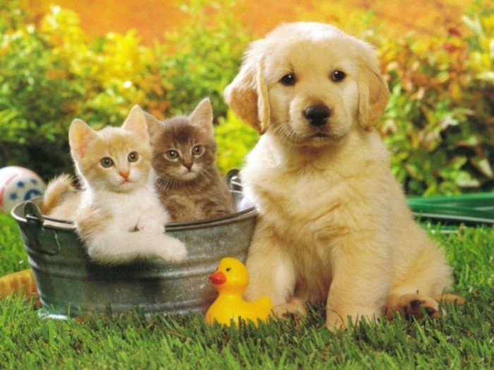 kittens in a bucket, next to a golden retriever puppy, with a pale cream coat, cutest dog in the world, yellow rubber ducky nearby