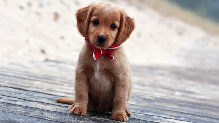 ribbon in red and white, tied around the neck, of a puppy with floppy ears, and a beige coat, with white streaks
