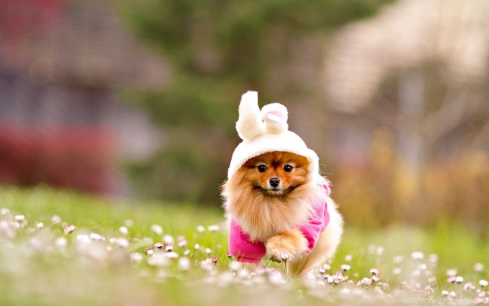 bunny suit in pale, powder pink and fuchsia, worn by a running pomeranian, with a ginger and cream coat, cutest dog breeds