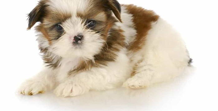 pink and black spotted nose, on a shih tzu puppy, with a white and brown coat, cutest dogs, lying on a white surface