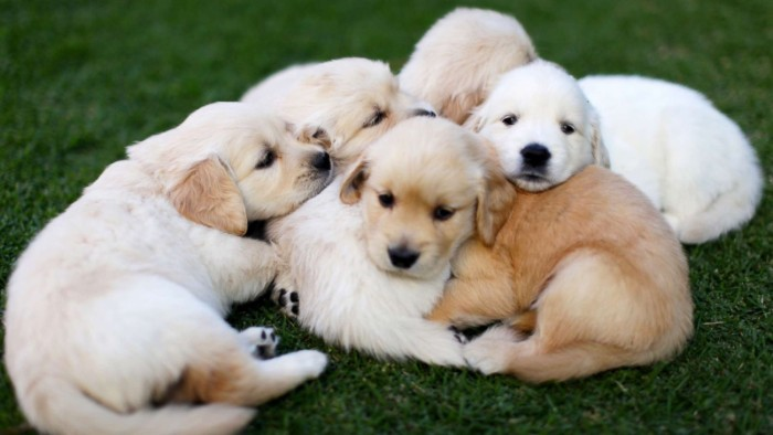 pile of golden retriever puppies, with white and cream, and light beige coats, huddled together on a green lawn