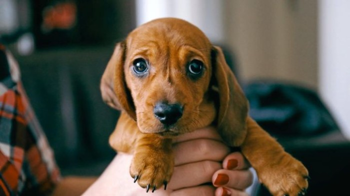 hands holding a small daschund puppy, cute dog, with short chocolate brown coat, a black nose, and dark sad-looking eyes