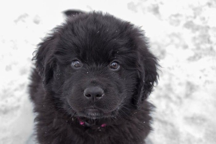 sitting newfoundland puppy, with fluffy black coat, cute puppy, looking up at the camera, and surrounded by snow