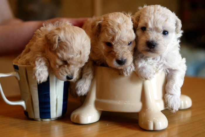 labradoodles with curly, pale cream coats, cutest dog in the world, placed inside a mug, and in a ceramic dog food bowl