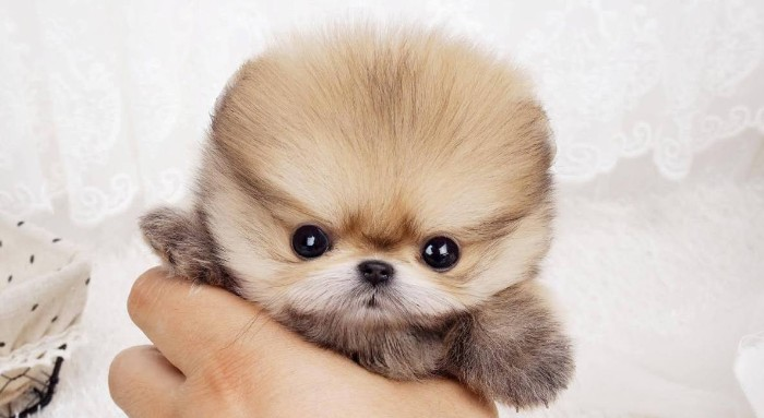 incredibly small pomeranian puppy, with white and cream and beige fur, cutest dog breeds, held by a human's hand
