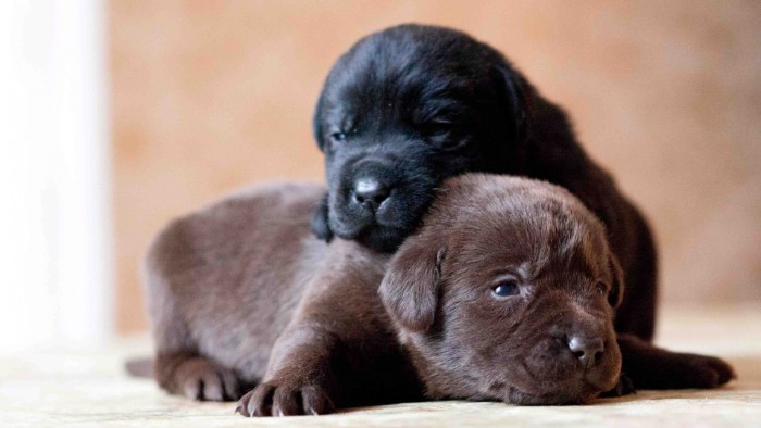 chocolate brown labrador puppy, lying on the ground, with a black labrador puppy on top of its neck, cutest dog breeds, labrador babies