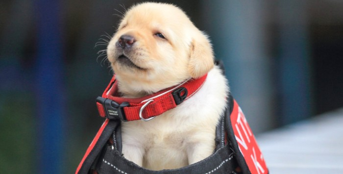 service dog gear in red, black and white, placed on a very young, golden retriever puppy, cutest dog breeds, with white and cream fur