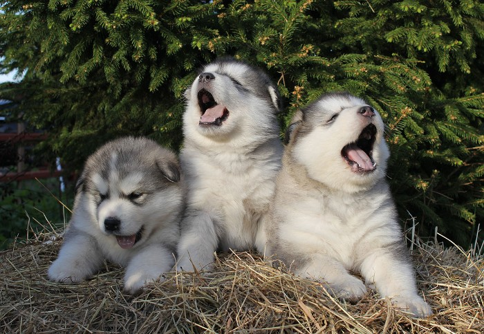 three yawning alaskan malamute puppies, with white and light grey fur, lying on a bed of straw, cute dog breeds, with pine trees in the background