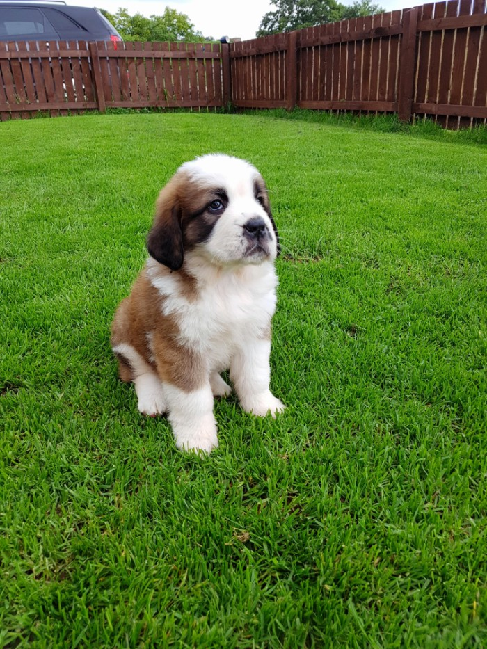 st. bernard puppy, with white and beige, and dark brown coat, cutest dog in the world, sitting on a grassy lawn